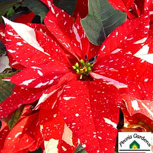 PoinsettiaJingle